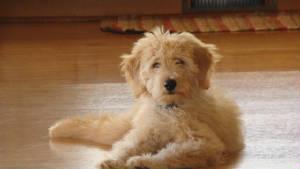 mini goldendoodle puppies michigan